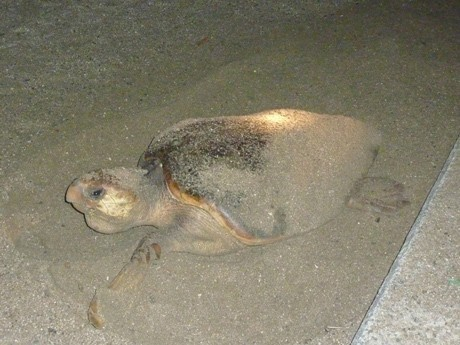 Sea Turtle Lays Eggs Across from Kansai Int'l - 1st Confirmed Sighting in 11 Years, 3rd Time Ever