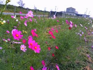 1.5 Mil. Cosmos Flowers Next to Runway - Ariake Saga Airport Cosmos Garden Opens
