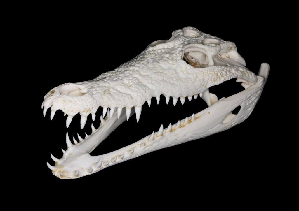 顎や歯が特徴的なワニの頭骨