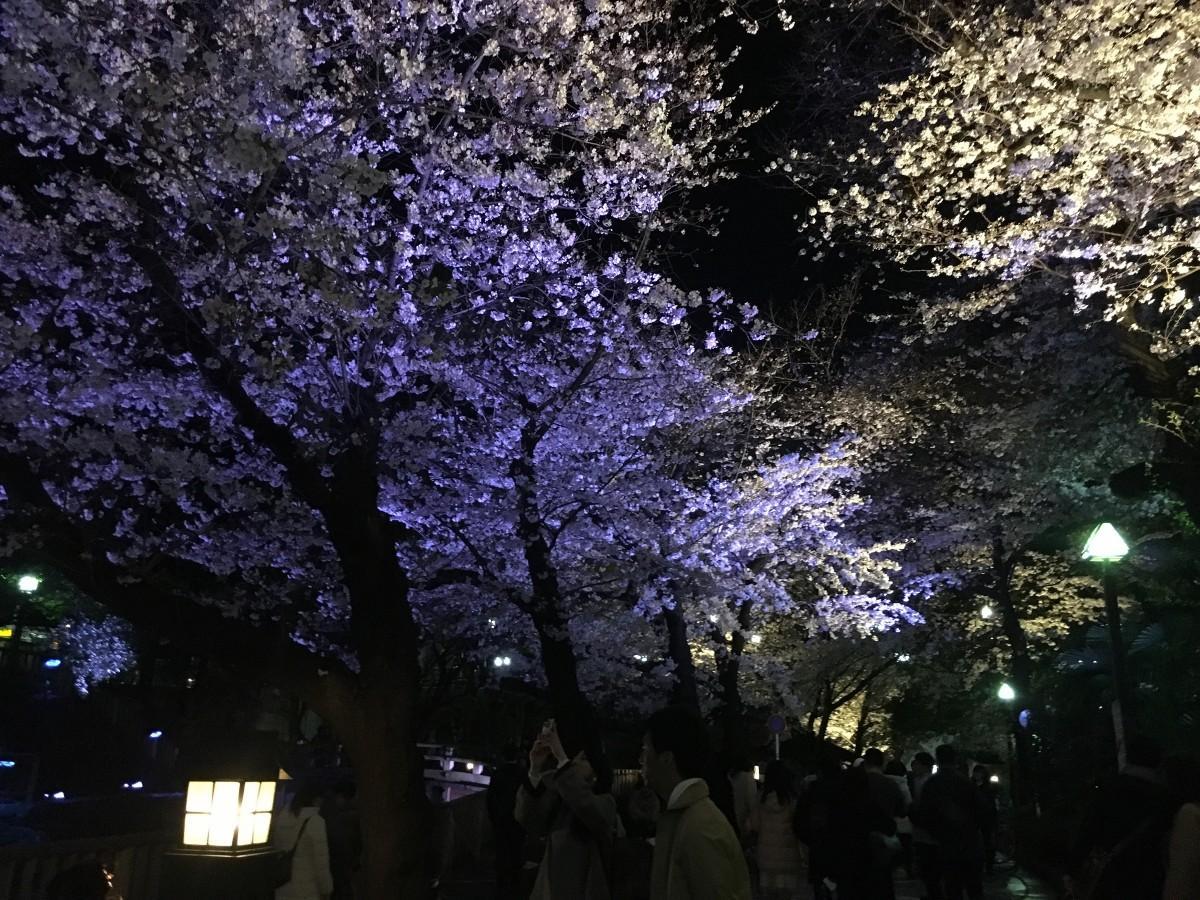 音無親水公園桜ライトアップの様子(3月31日撮影)
