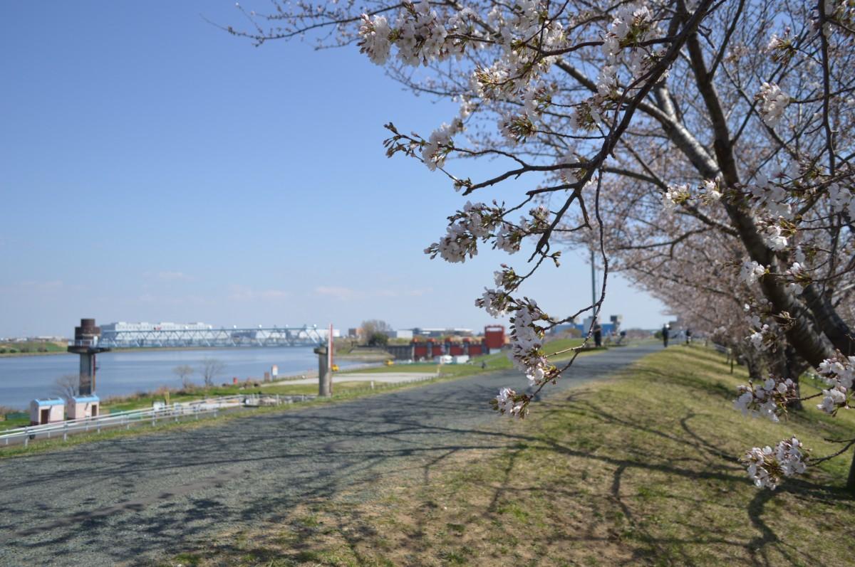 間もなく満開を迎える荒川河川敷の桜