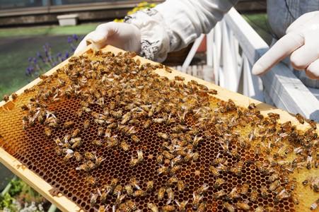通年飼育されているおよそ10万匹のミツバチ