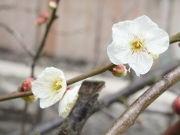 赤坂に春の訪れ 日枝神社境内の紅梅が満開に