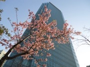 赤坂サカスの河津桜咲く スマホ片手に撮影する人の姿も