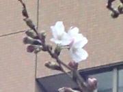 赤坂アークヒルズのソメイヨシノが開花 春の訪れ告げる
