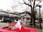 日枝神社で桜茶会 みこが参拝者に「幸福茶」振る舞い
