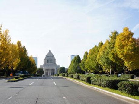 国会正門前のイチョウ並木