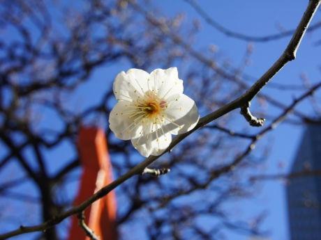 日枝神社に春の訪れ 紅白の梅が見頃迎える