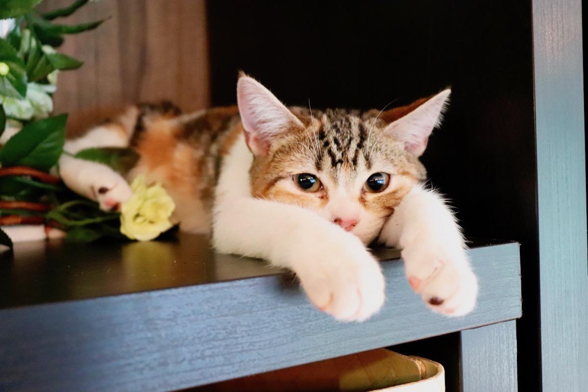 「猫喫茶 空陸家 赤坂ジャングル店」の猫