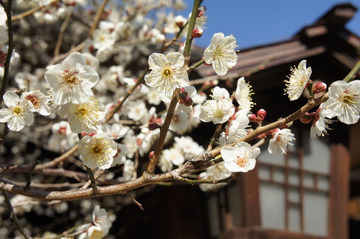 見頃を迎えた乃木神社の白梅