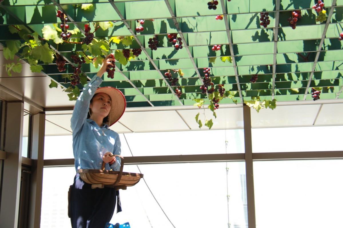 ガーデナーがブドウを収穫している様子