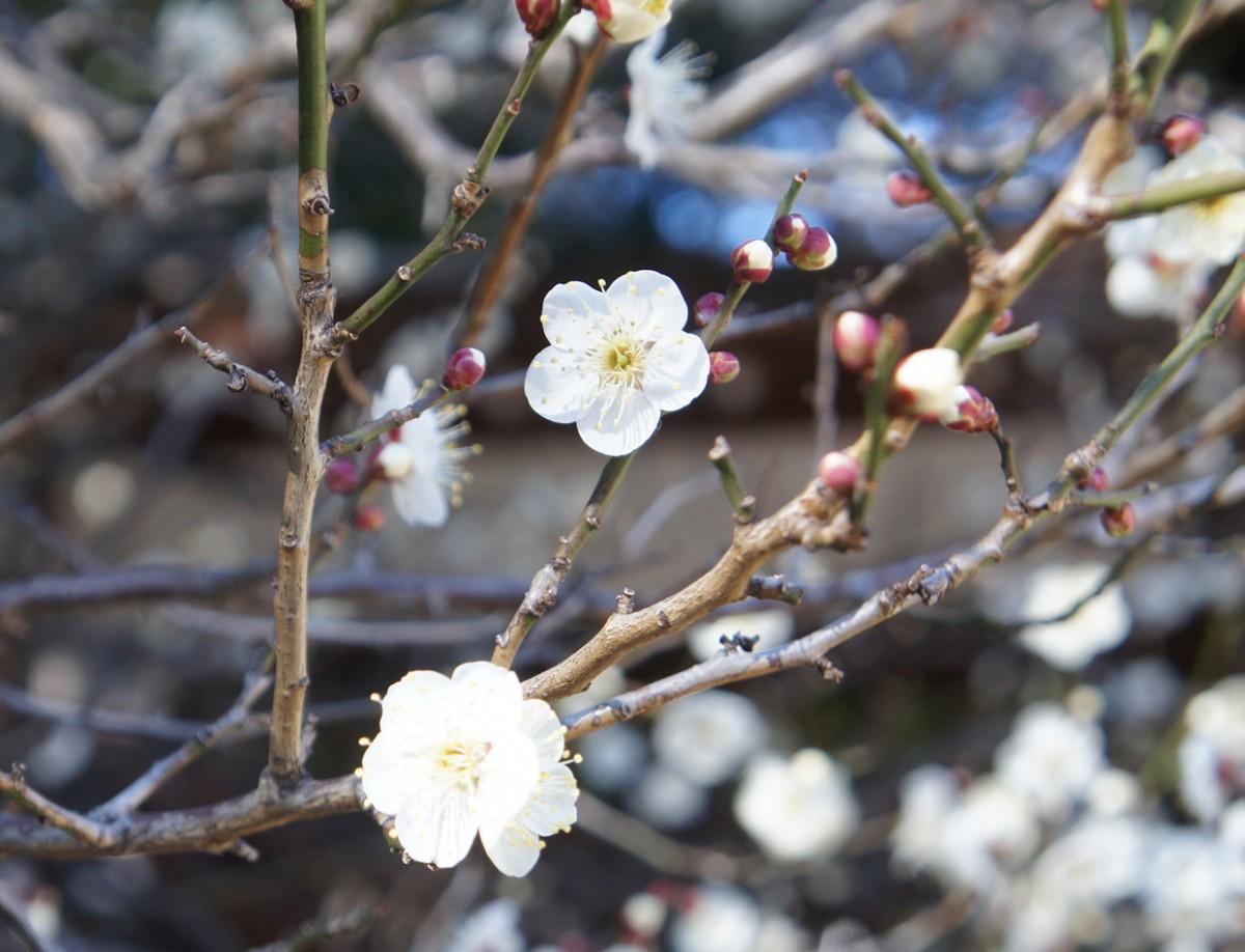 同神社の境内正面左手に咲くの白梅(2019年1月21日撮影)