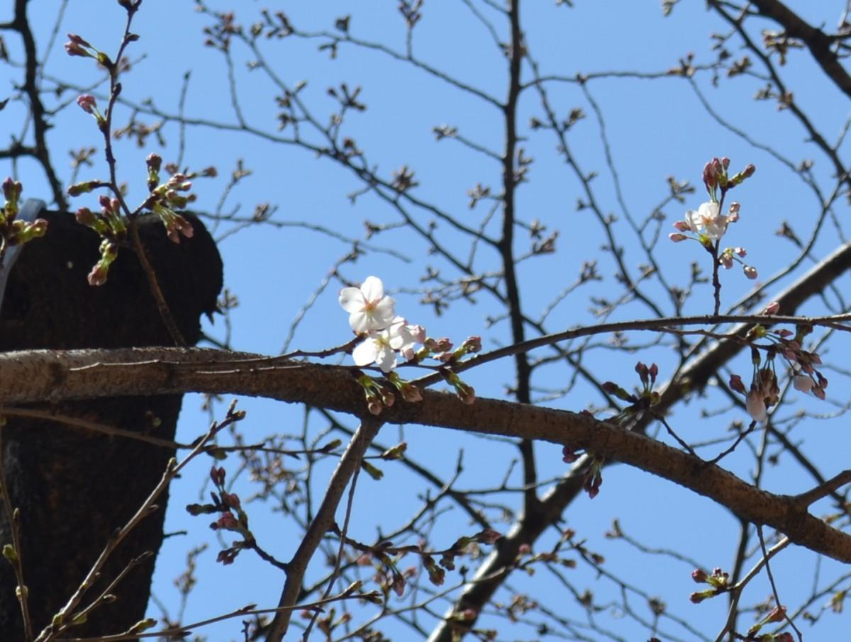 開花が確認されたアークヒルズのソメイヨシノ