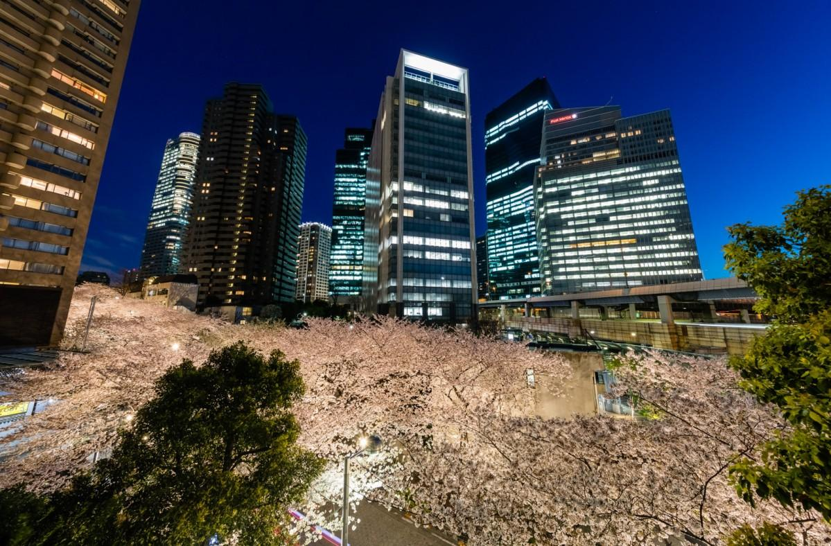 夕方からはライトアップされた幻想的な雰囲気の夜桜鑑賞ができる