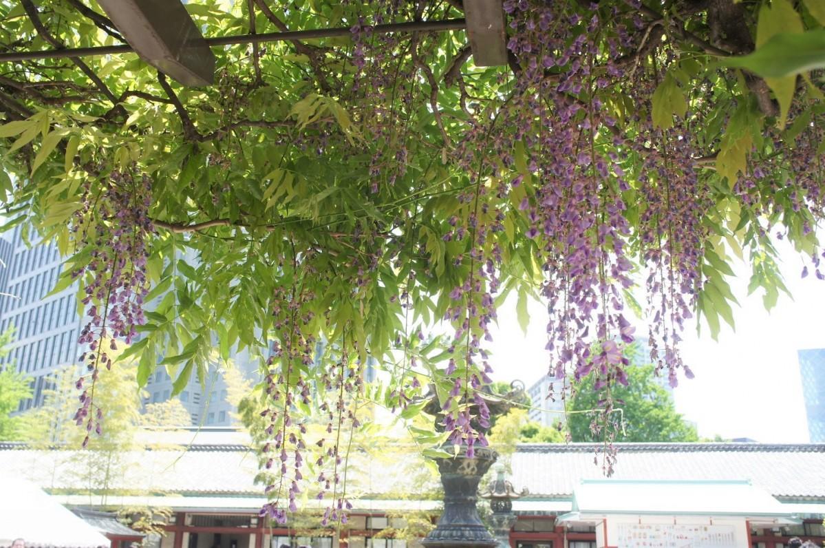 日枝神社の藤棚(2019年5月5日撮影)