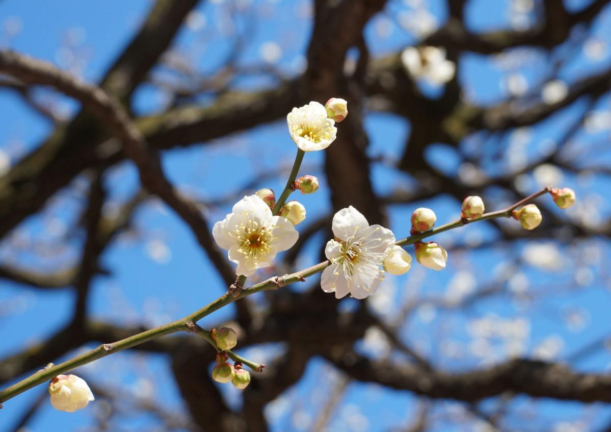 春の日差しを受ける日枝神社境内の白梅(2020年2月10日撮影)