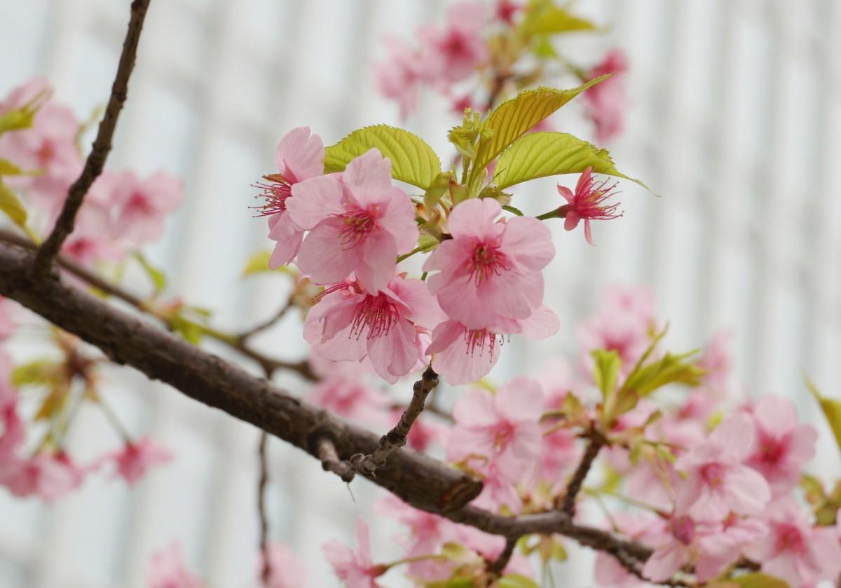 淡いピンク色の花を咲かせる早咲きのカワヅザクラ(2020年2月25日撮影)