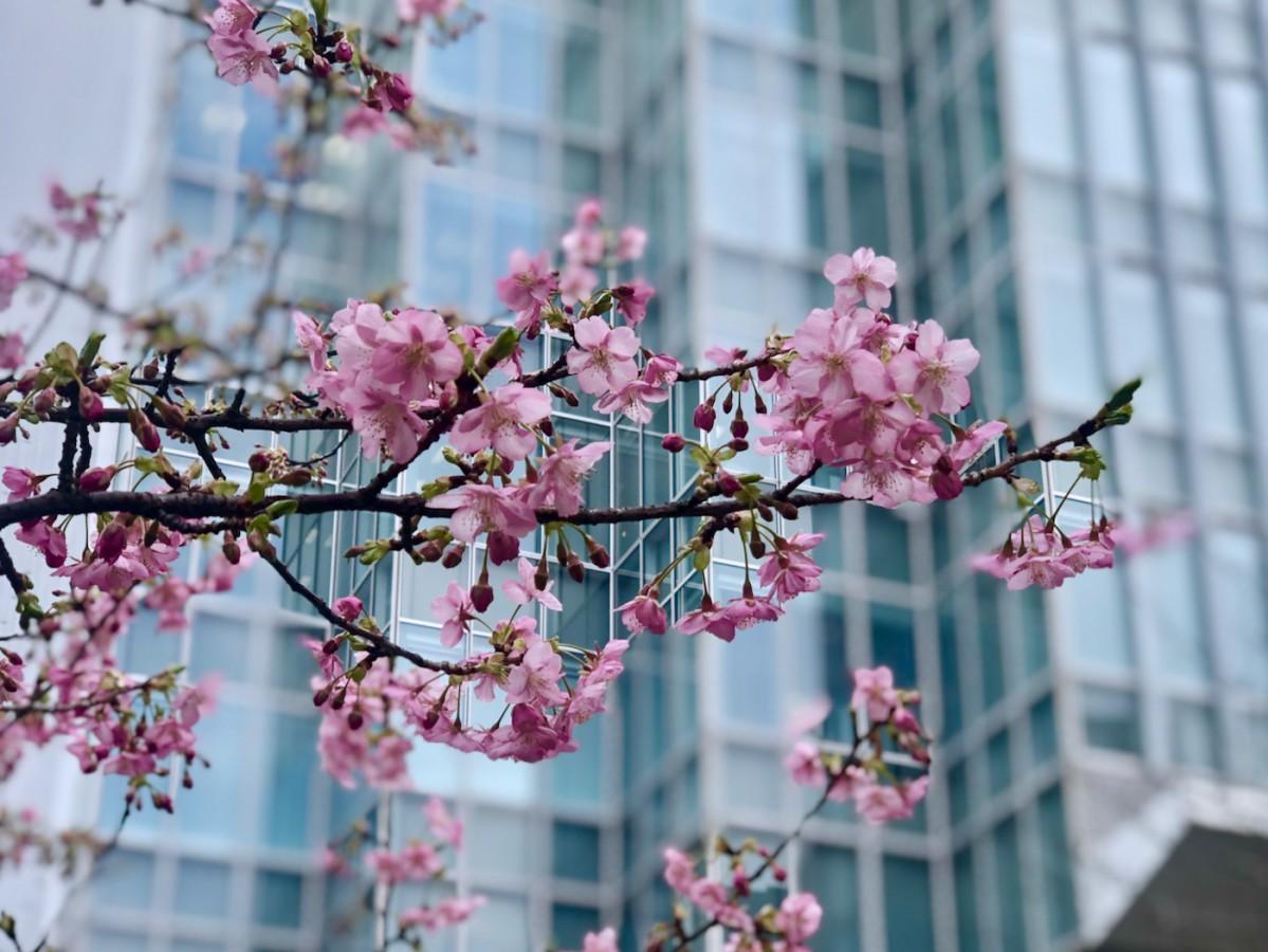 開花した赤坂サカスの河津桜(2月18日撮影)