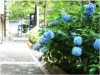 Hydrangea in Ark Hills, greets the best time to see before the rainy season