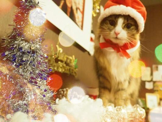 秋葉原の猫カフェ、猫サンタがお出迎え クリスマス仮装イベントで
