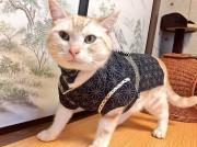 猫が法被・浴衣姿でお出迎え 秋葉原の猫カフェ、神田祭盛り上げ