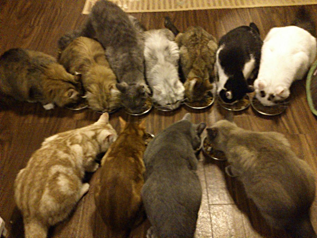 「ニャニー秋葉原店」の猫スタッフ