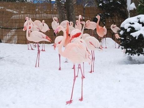 フラミンゴも雪上では二本足。秋田市の大森山動物園で