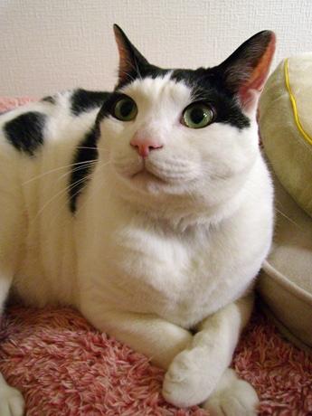 元捨て猫「ニャジロウ」、キャラになって秋田で人気に