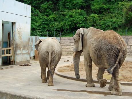 独身男女向けイベントを開く秋田市大森山動物園。写真は同動物園の人気者、アフリカゾウのダイスケとハナコ