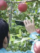 「リンゴの収穫適期判定」アプリ 秋田県と地元企業がコラボ開発