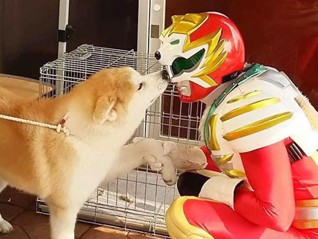 秋田犬ヒーロー「ハチ」が映像制作 協力者募集も
