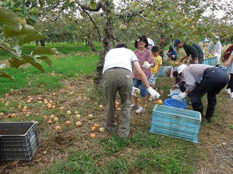 秋田市雄和の「種沢観光りんご園」でリンゴを拾い集める「秋田市大森山動物園応援会」の会員(写真は2015年)