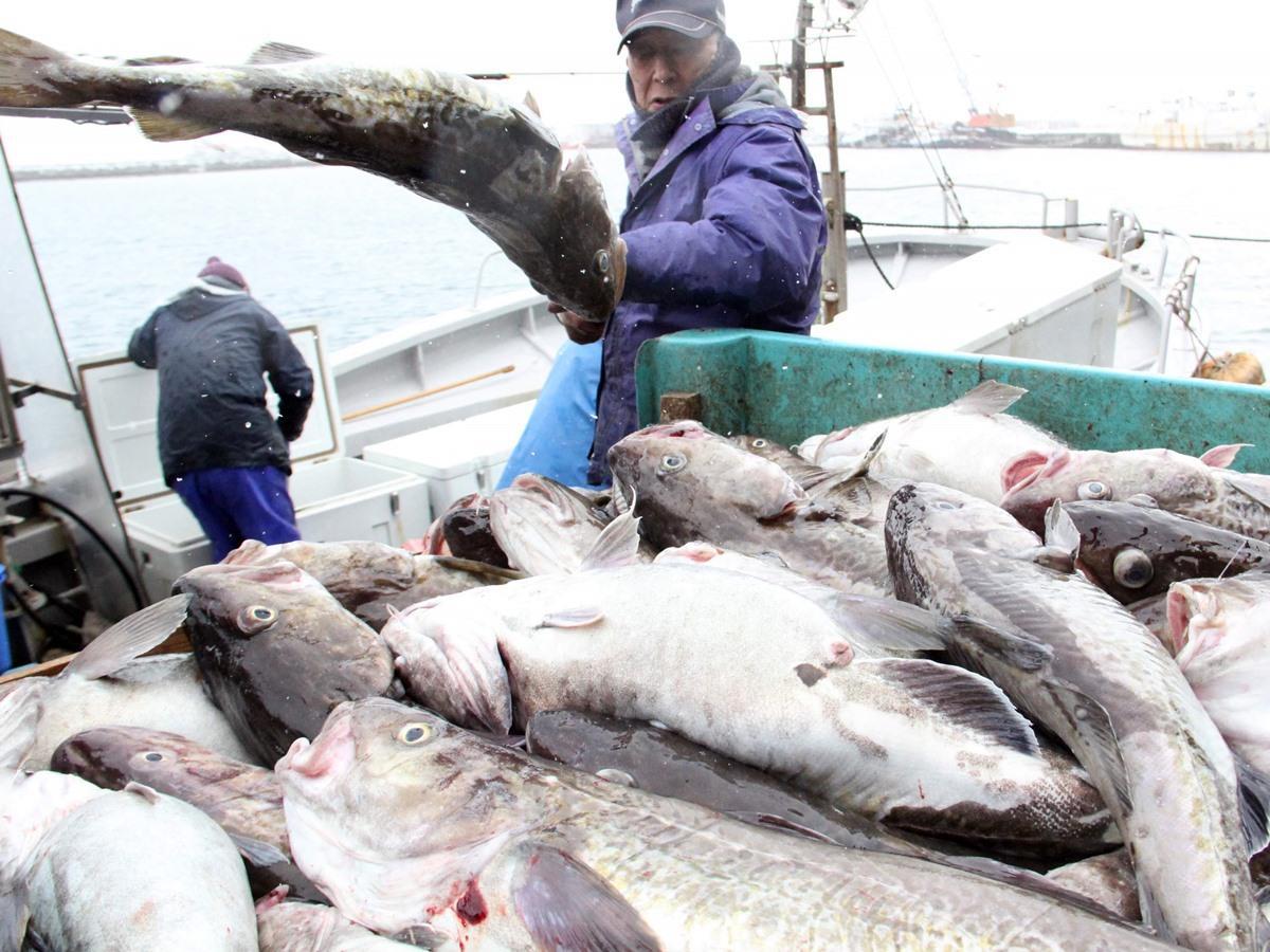 男鹿市船川港で水揚げされる「寒鱈」(1月26日撮影)