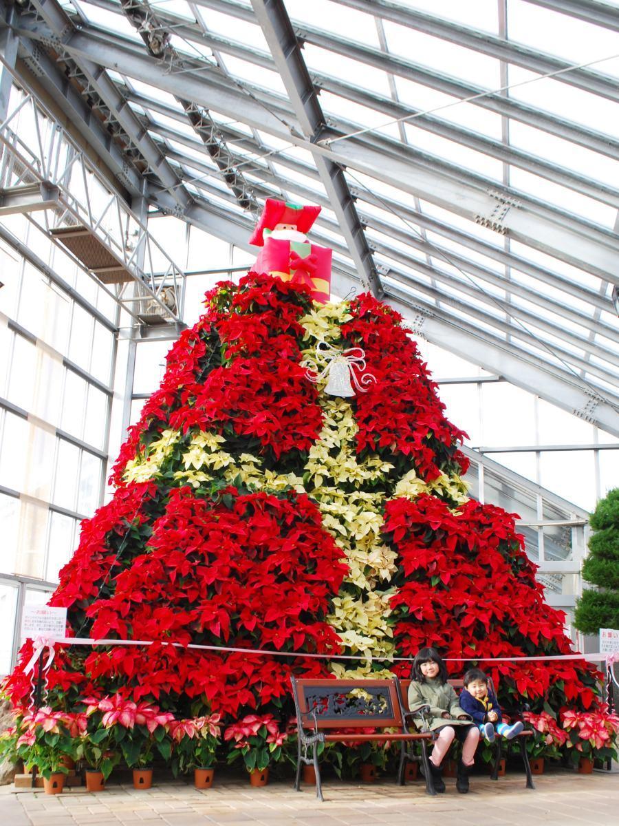 約1000鉢のポインセチアを積み上げて作る高さ4メートルの「ポインセチアタワー」