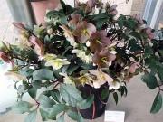 尼崎でクリスマスローズ展 市内愛好家が自慢の鉢を出品