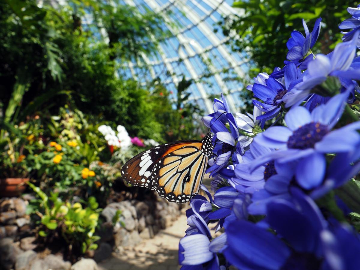 伊丹市昆虫館、明るくなった「チョウ温室」で再開 企画展 ...