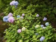 尼崎の元浜緑地でスイレンとアジサイ見頃 例年より1週間早く