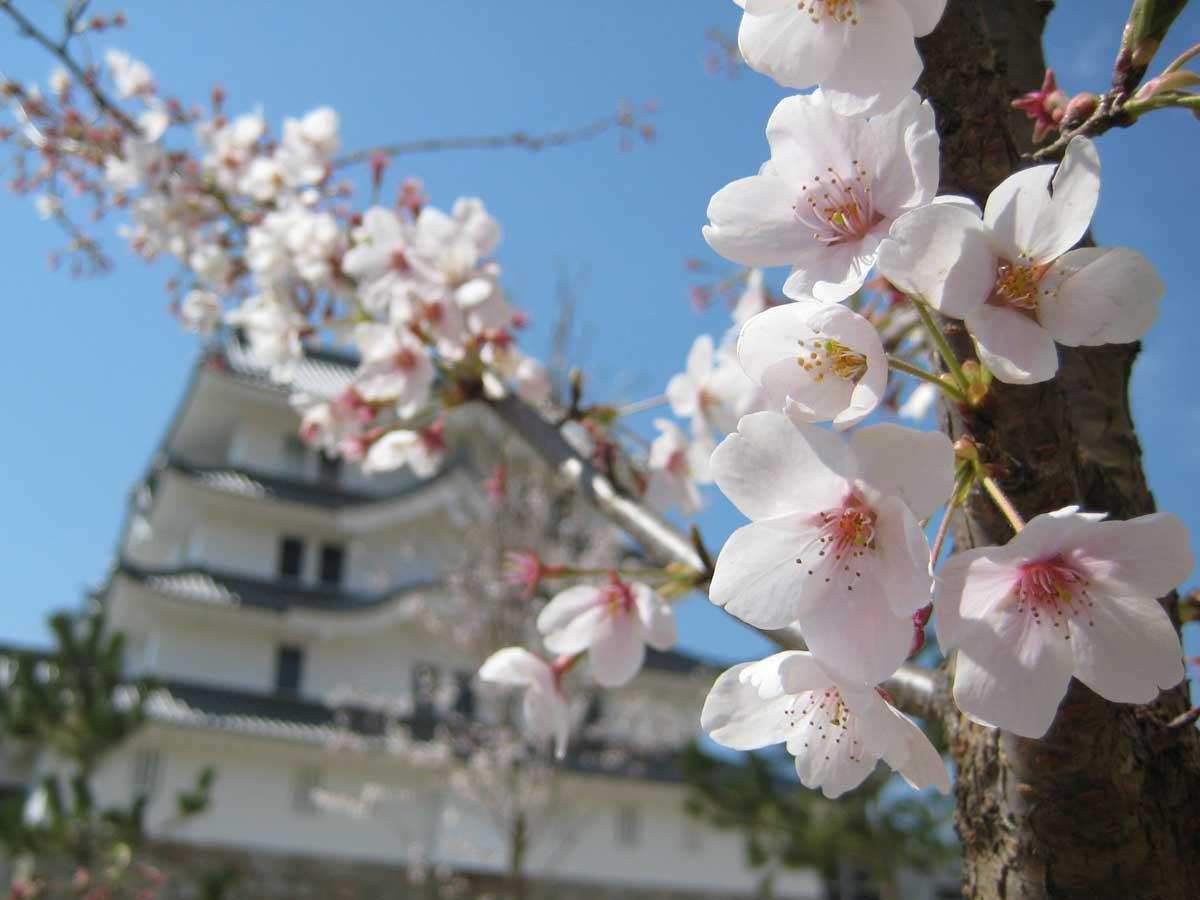 尼崎城の桜
