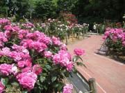 尼崎・大井戸公園でバラが見頃 多くの花見客でにぎわう