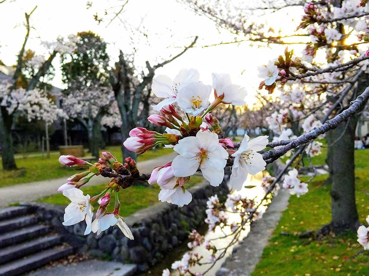 西武庫公園の桜。台風被害で枝は細いものの、力強く咲き誇る