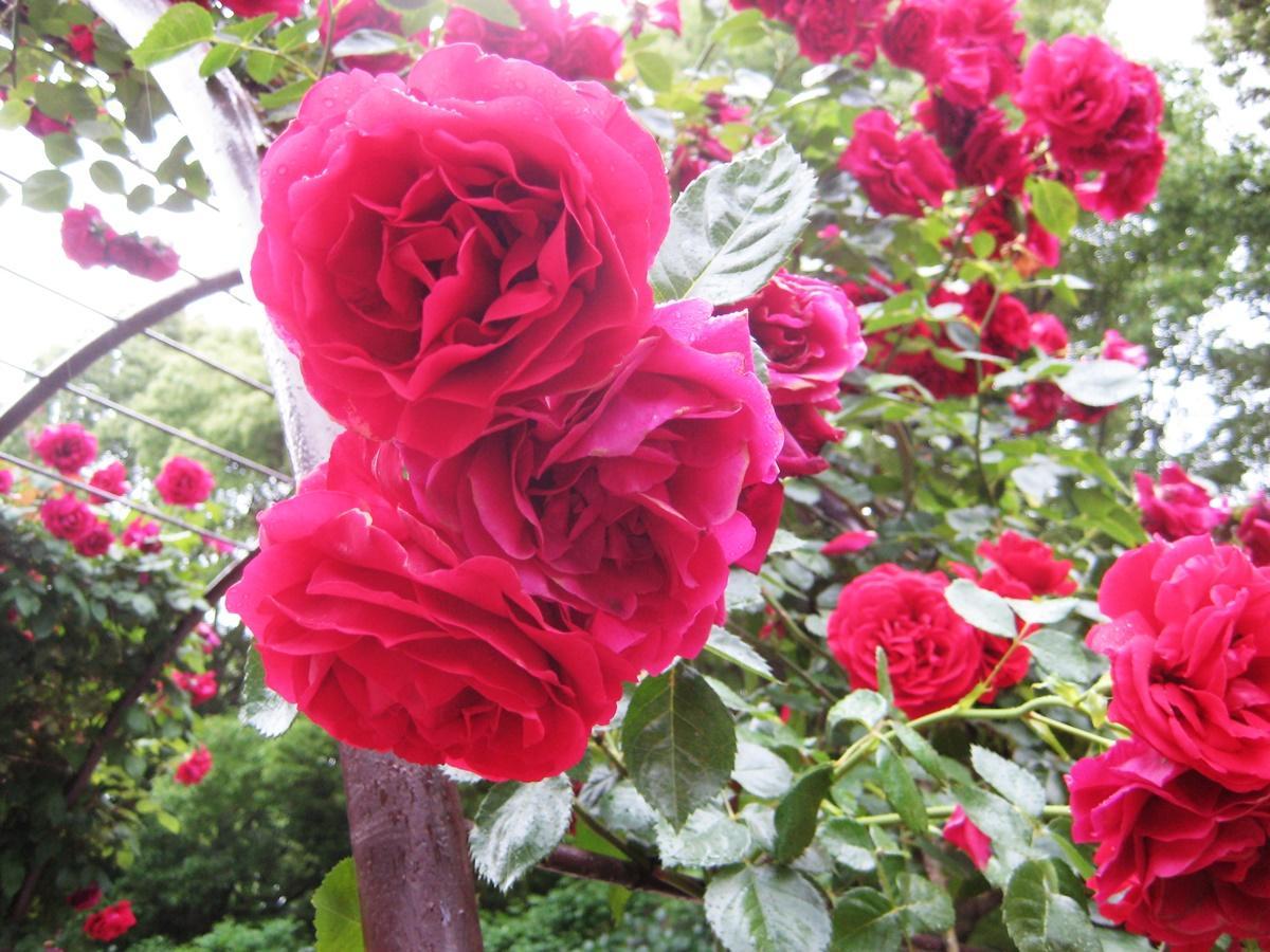 鮮やかに咲き誇るバラ