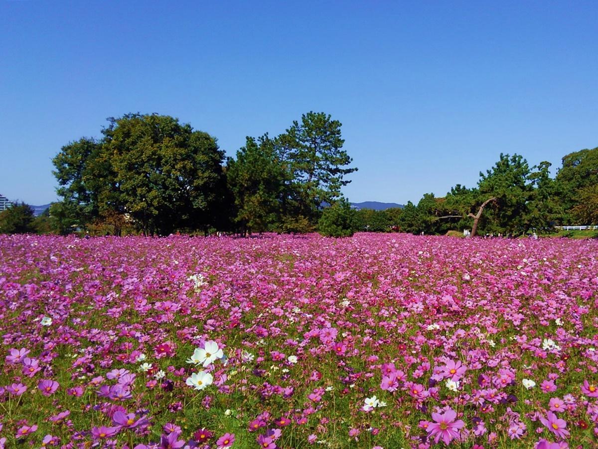 550万本のコスモスが咲き誇る「武庫川髭の渡しコスモス園」の様子(昨年撮影)