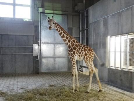 愛称を募集しているアミメキリン。写真:旭山動物園提供
