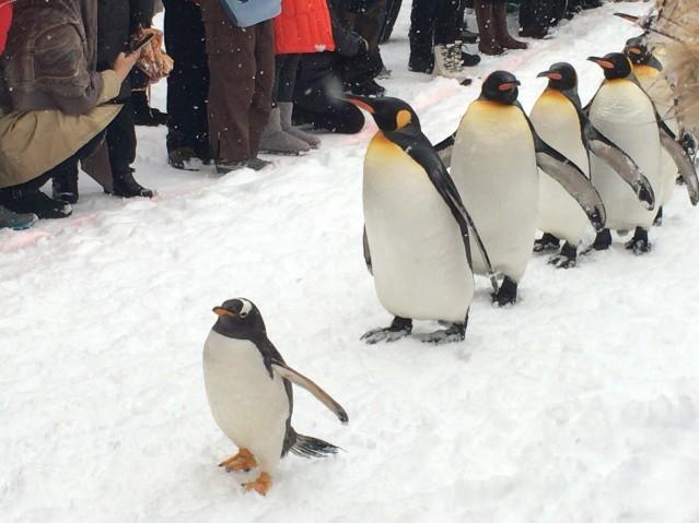 来園客の歓声を受けながら行進するペンギンたち