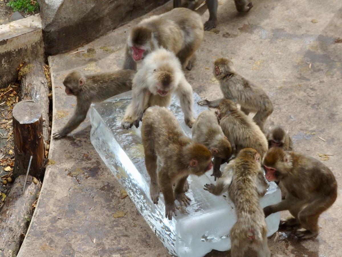好奇心旺盛な猿たちに人気の蜂蜜入り氷柱