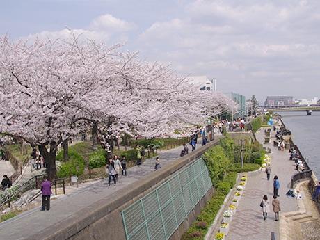 隅田川西岸に広がる桜