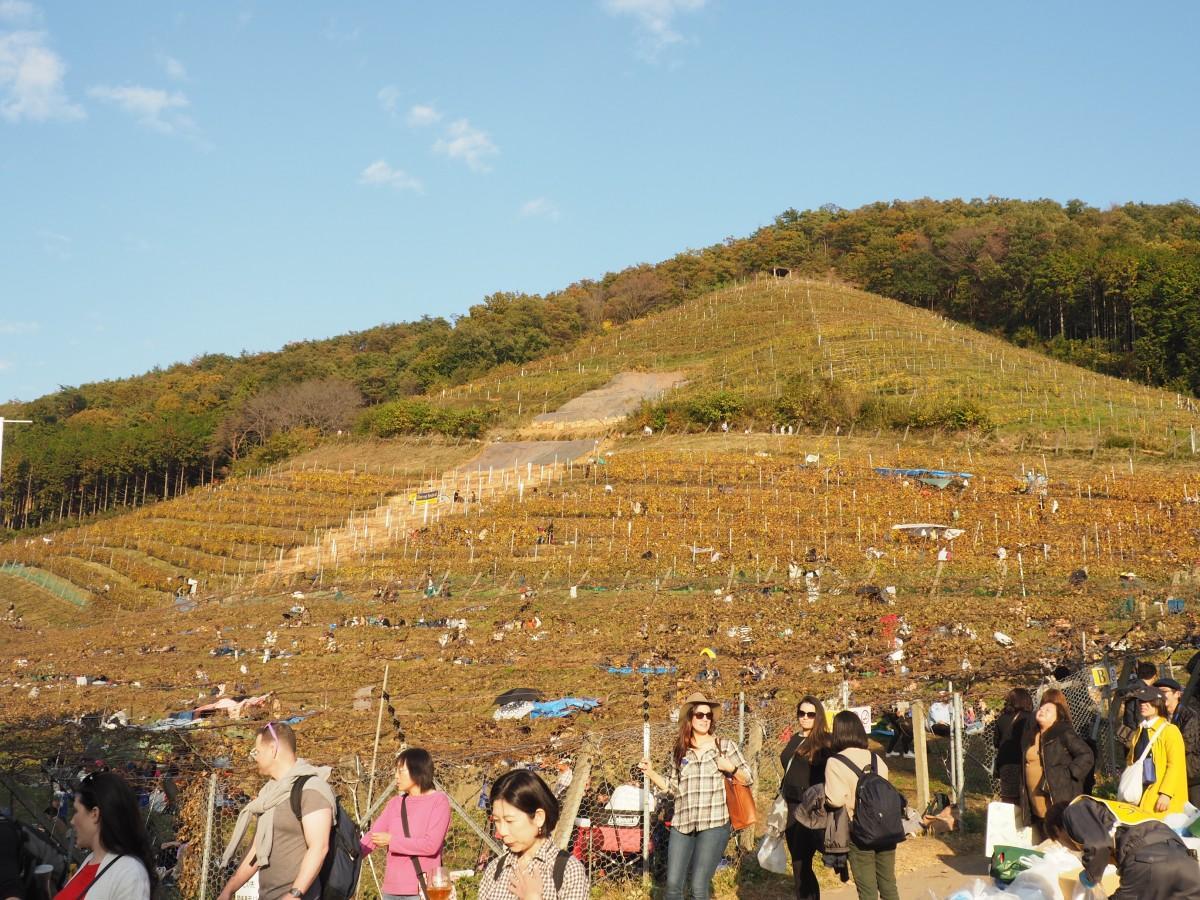 開墾61年目のブドウ畑