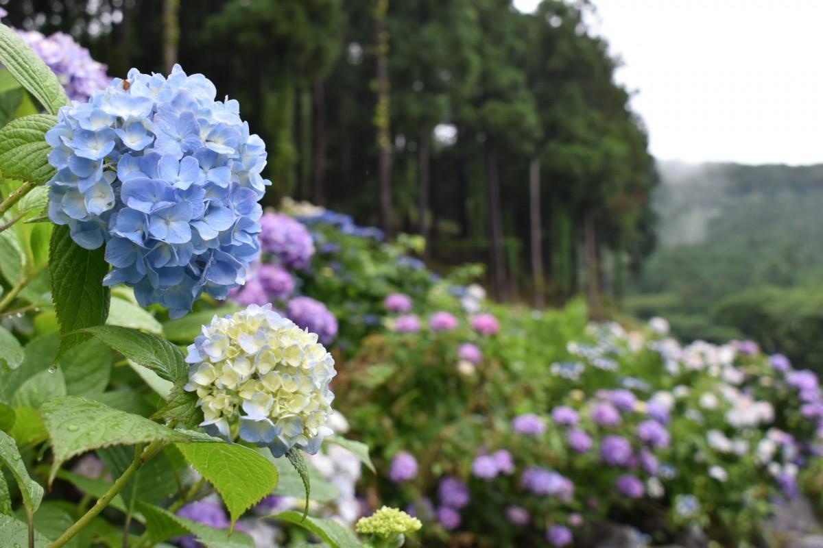 吉祥寺の今年のアジサイ。本橋さんは「今は八分~九分咲き」だと言う(6月19日撮影)