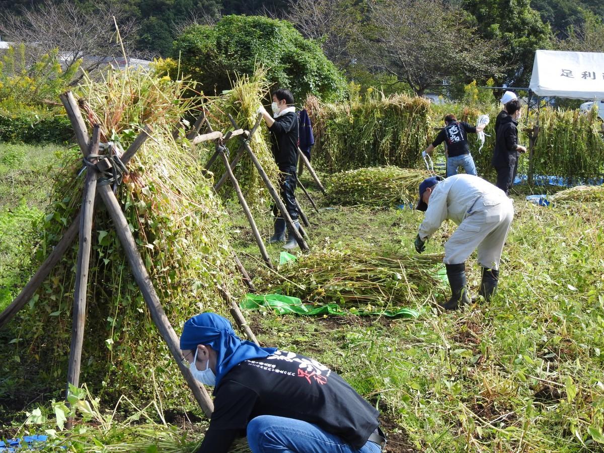 ソバの実は1週間干した後収穫する