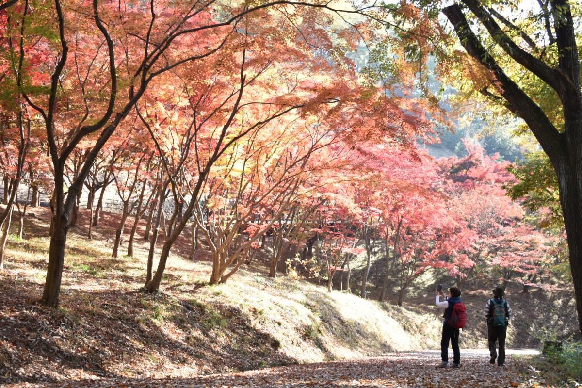 紅葉の木々が立ち並ぶ(11月17日撮影)